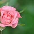Photos: 我が家のバラ