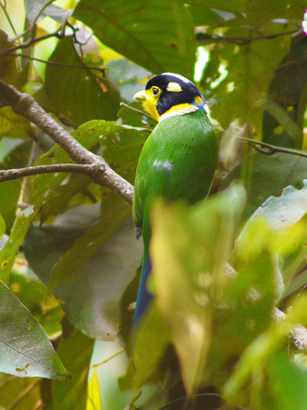 オナガヒロハシ(Long-tailed Broadbill) P1070158_R