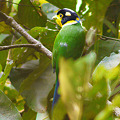 Photos: オナガヒロハシ(Long-tailed Broadbill) P1070158_R