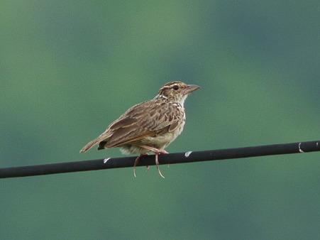チャバネヤブヒバリ(Rufous-winged Bushlark)(Indochinese Bushlark)P1140281_R