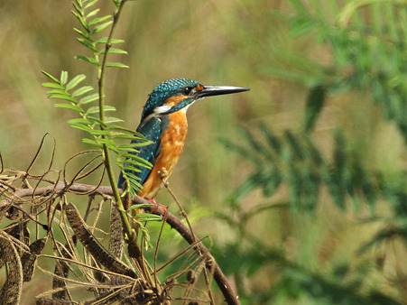 カワセミ(Common Kingfisher) IMG_4695_R