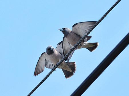 「さあ、いっしょに飛び立とう」 ハイイロモリツバメ(Ashy Woodswallow) DSC_6295_R