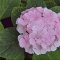 Photos: 淡いピンクの紫陽花