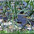写真: 07玉葱(アトン)