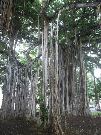 州庁舎裏の樹