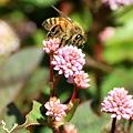 Photos: ヒメツルソバとミツバチ