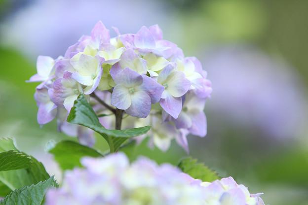 Photos: 淡い紫陽花