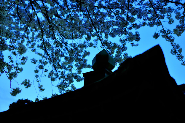 201004_sight of cherry blossoms by night(6)
