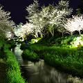 忍野村の桜?