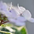 額紫陽花2