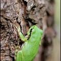 森のカエル
