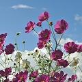 コスモスの花・B