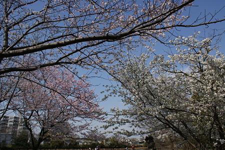 大島桜と染井吉野のコラボ
