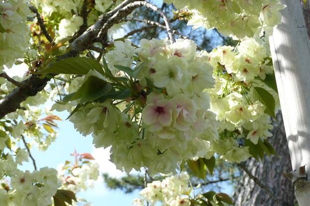 写真: 満開の御衣黄桜