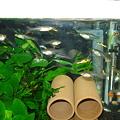 20100925 41cm水槽のエンドラーズ