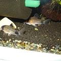 Photos: 20101025 41cm水槽の親子パンダ