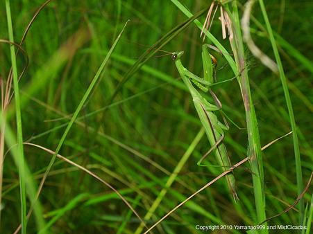 ウスバカマキリ ♂ 緑色型
