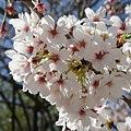 Photos: 稲毛神社の桜5