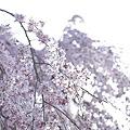 Photos: 京都御苑、春の訪れ13