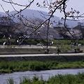 Photos: 鴨川、桜まみれ04