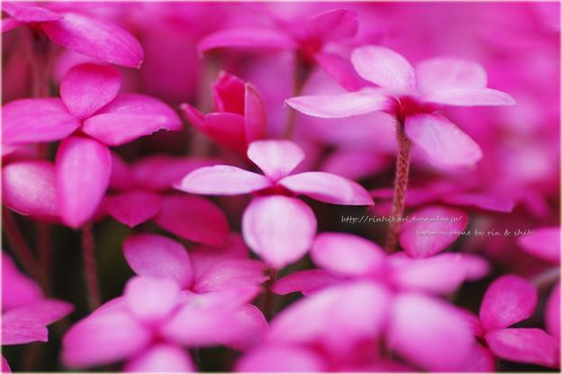 写真: アッツ桜・・・。