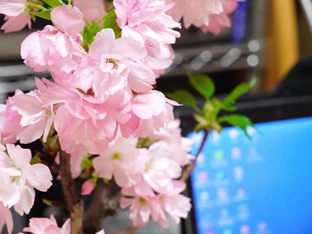 鉢植えの桜がキレイキレイ