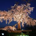 写真: 京都円山公園・夜桜