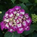 紫陽花 17