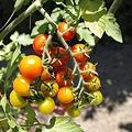 Photos: かたまりプチトマト