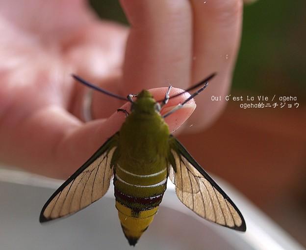 羽化。鱗粉落とし04(オオスカシバ飼育)