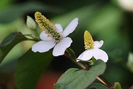 我が家の庭のドクダミの花