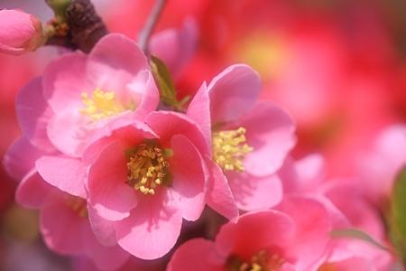 咲分けが豪華な放春花(木瓜)