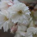 三神峯の緑桜