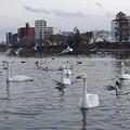白鳥・都会に飛来