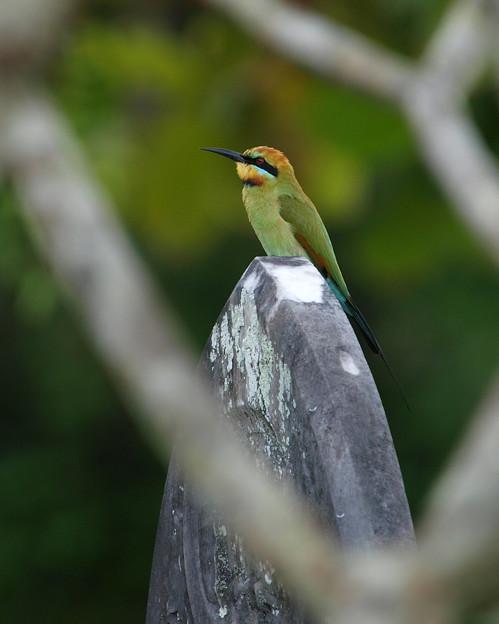 ハチクイ Rainbow Bee-eater