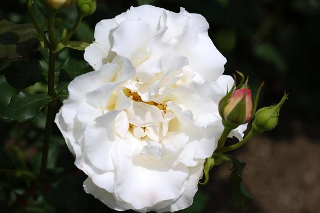 バラ(薔薇)F フレンチ・レース