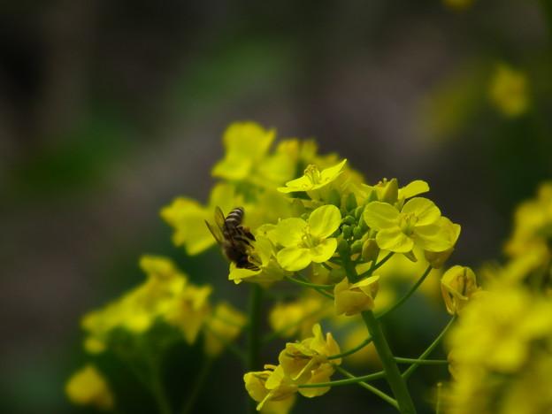 蜂と菜の花?