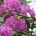 A Swallowtail 6-7-12