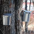 Photos: Maple Sap Buckets 3-7-10