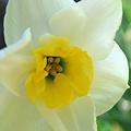 Daffodil 5-1-10