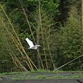 Photos: 飛ぶサギ