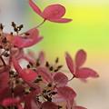 終わりても色残す紫陽花~