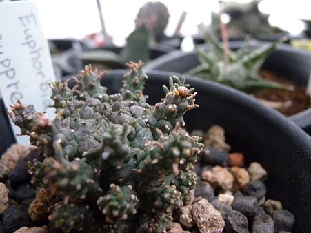 Euphorbia suppressa