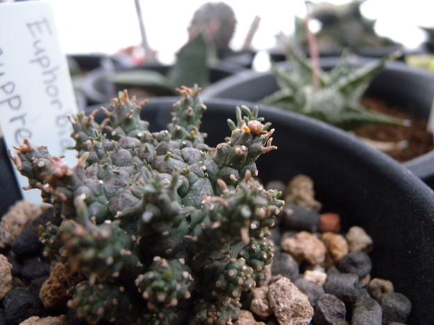 写真: Euphorbia suppressa