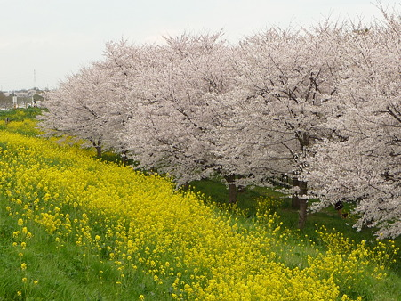 100411-熊谷桜堤 (46)