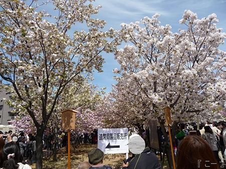 110417-造幣局 桜の通り抜け (5)