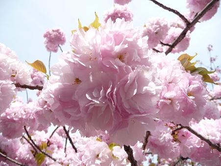110417-造幣局 桜の通り抜け (109)
