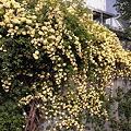 Photos: ご近所のモッコウバラ