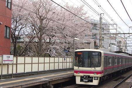 代田橋駅の桜
