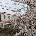 写真: 東武電車と桜